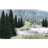 "WDS1585  Bulk 2"" - 4"" Evergreen Trees/ 18 pk"